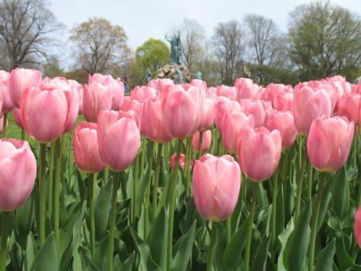 тюльпаны Адмирал ван дер Эйк.