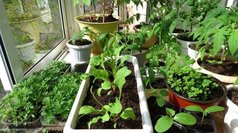 семена выращивание рассады