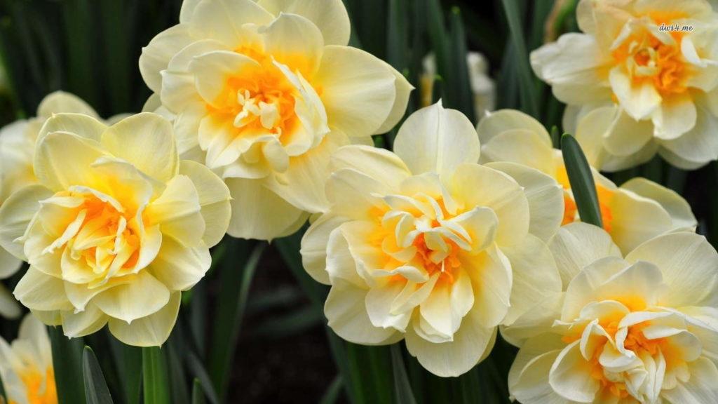 цветы нарцисы