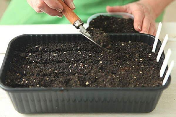 герань размножение семенами +в домашних условиях