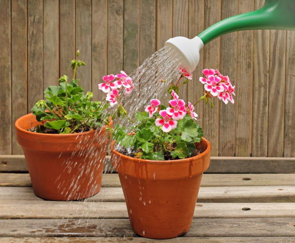 +как поливать герань