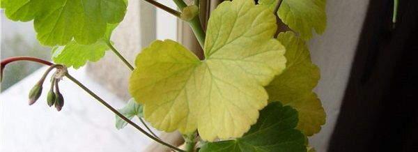 почему желтеют листья +у герани