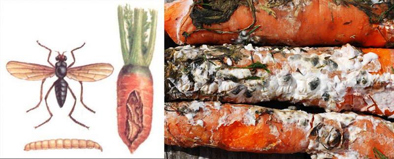 болезни моркови +и борьба +с +ними