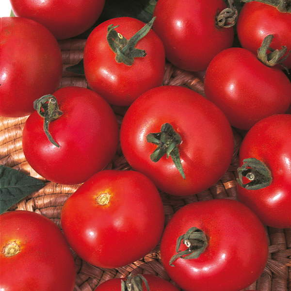 манимейкер помидоры фото