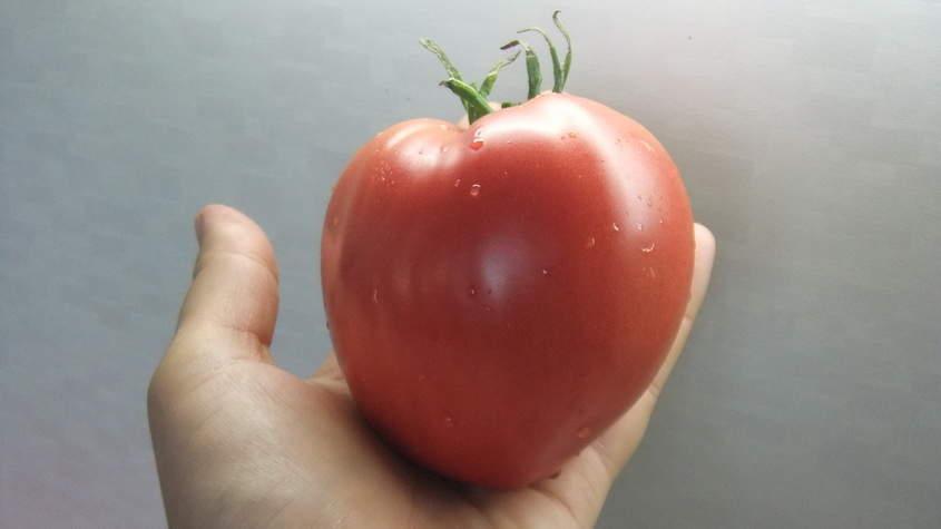 сорт помидора чудо земли