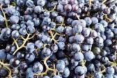 сад+виноград+изабелла+выращивание
