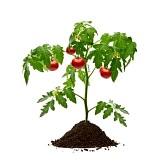 рассада+томаты+помидоры+выращивание+болезни+удобрения
