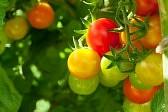 помидоры+томаты+семена+выращивание+уход+урожай