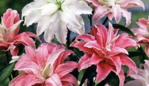 Картинки по запросу лилия восточные гибриды фото