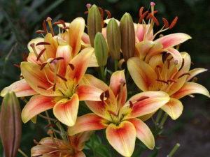 Картинки по запросу лилия оа гибриды фото