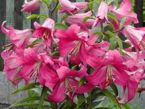 Картинки по запросу лилия от гибриды фото