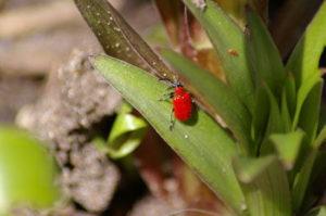 лилиевый жук+вредители+борьба+фото