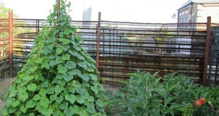 выращивание огурцов вертикально +в открытом грунте