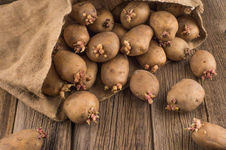 проращивание картофеля перед