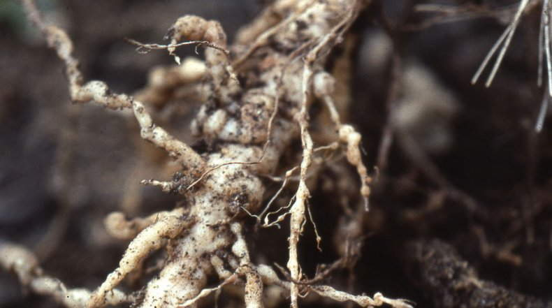 галловой нематодой заражены пионы+фото
