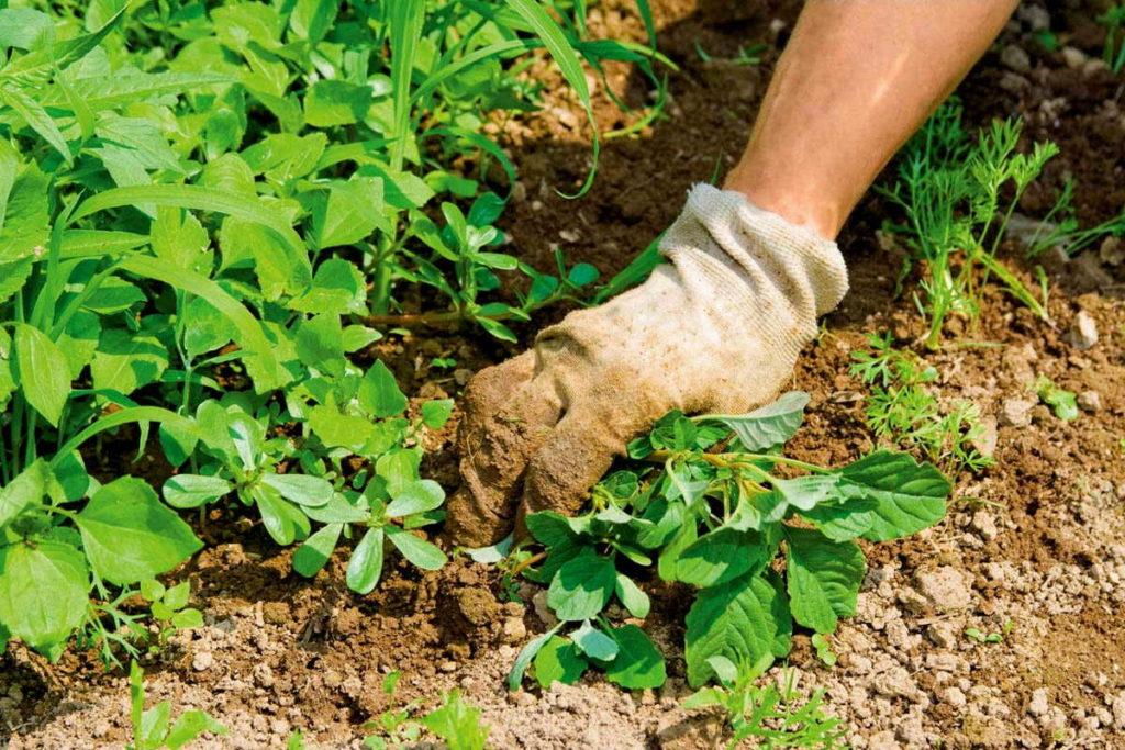 борьба с сорняками+срезание ботвы+фото