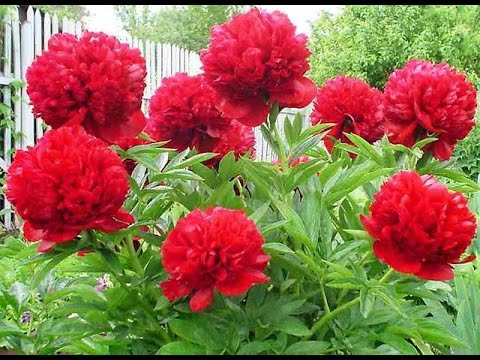 цветы+пионы+фото