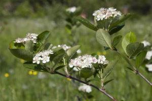черноплодная рябина цветение фото