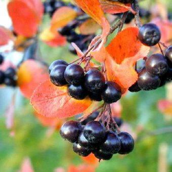 черноплодная рябина выращивание +и уход