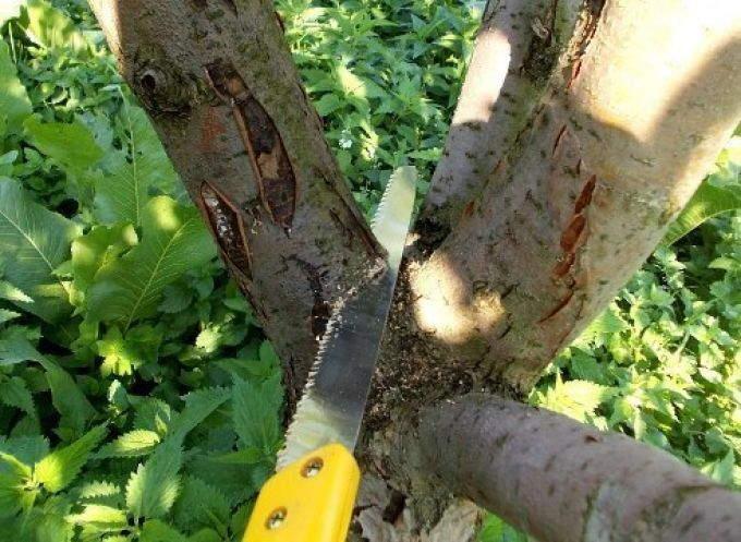 обрезка плодовых деревьев +для начинающих