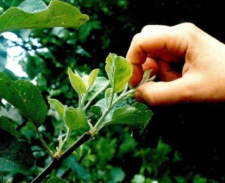 +когда производить обрезку плодовых деревьев