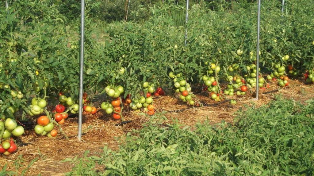 какую помидору посадить