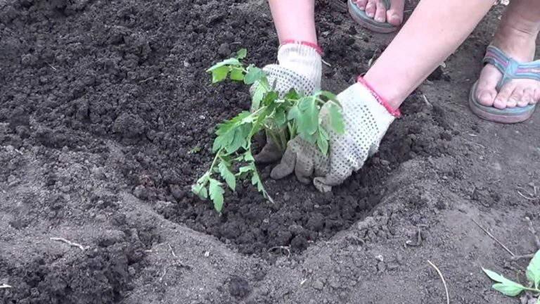 после высадки рассады томатов +в грунт