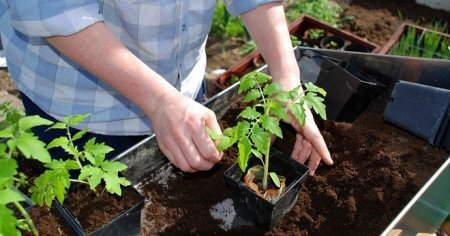 томаты выращивание +и уход