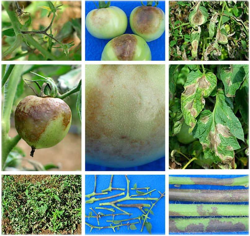 признаки фитофторы +на помидорах