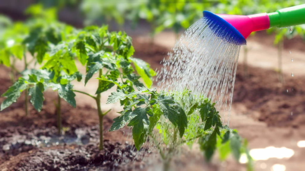 можно ли поливать томаты