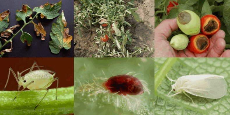 фотографии болезней томатов