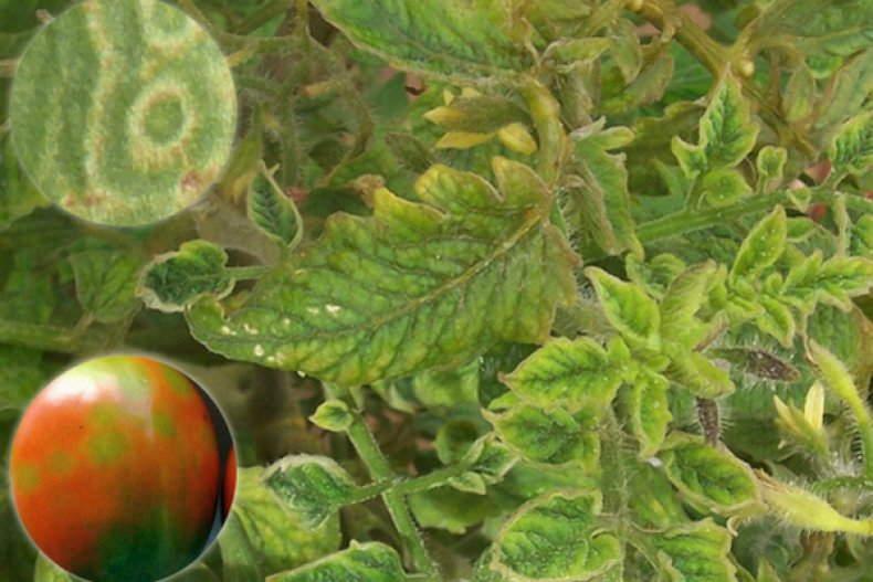 табачная мозаика томатов