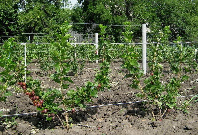 выращивание крыжовника +на шпалере