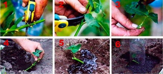 зеленое черенкование растений