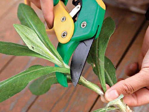 размножение зеленым черенкованием
