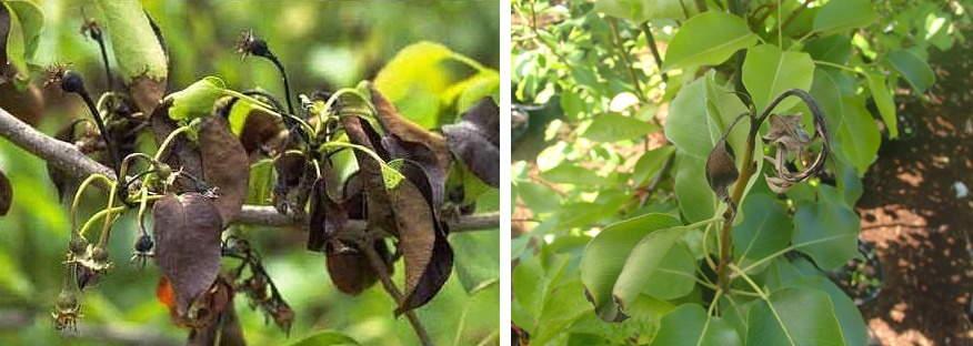 бактериальный ожог плодовых деревьев
