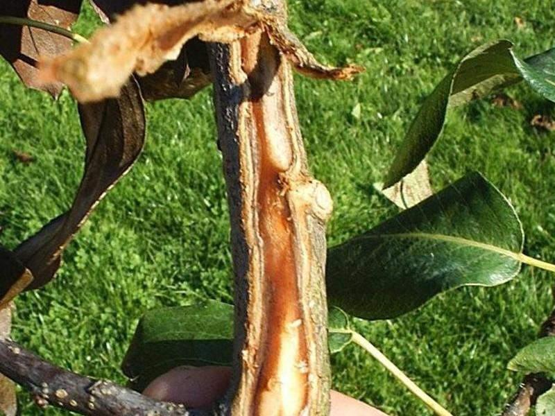 бактериальный ожог плодовых деревьев меры