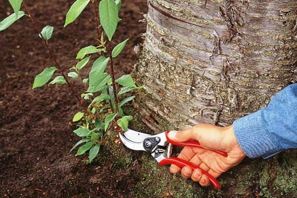 +как избавиться +от корневой поросли