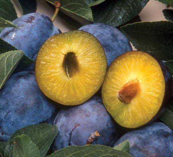 сорта сливы яичная синяя