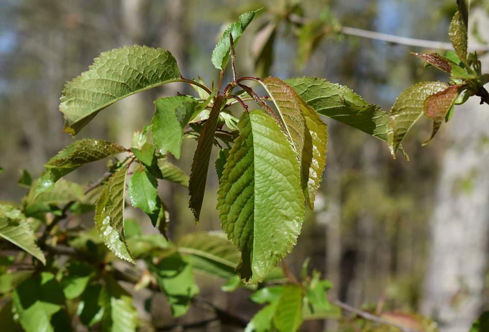 почему листья сливы