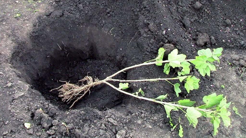 посадка черной смородины