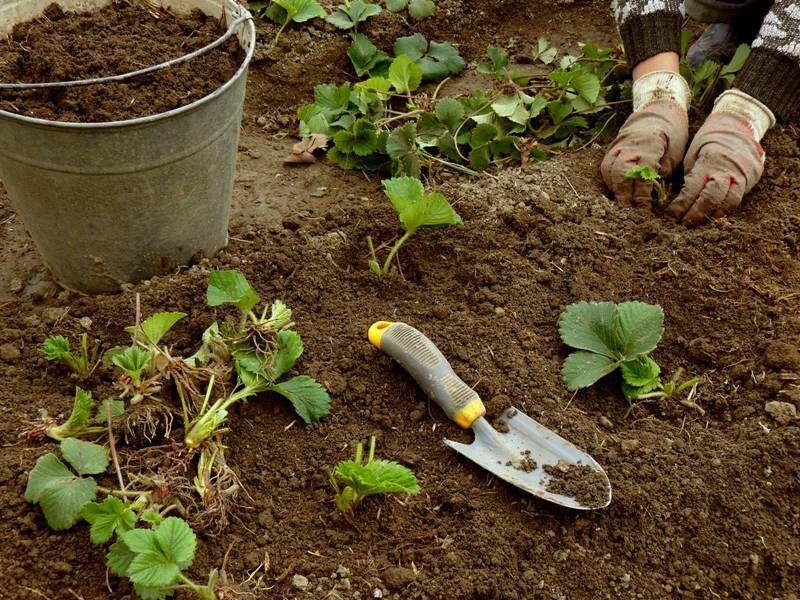 земляника садовая посадка +и уход