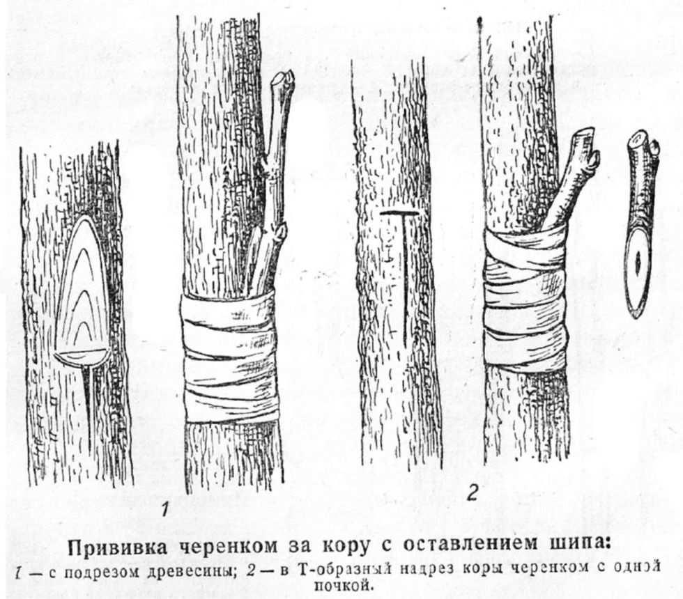 время прививок деревьев