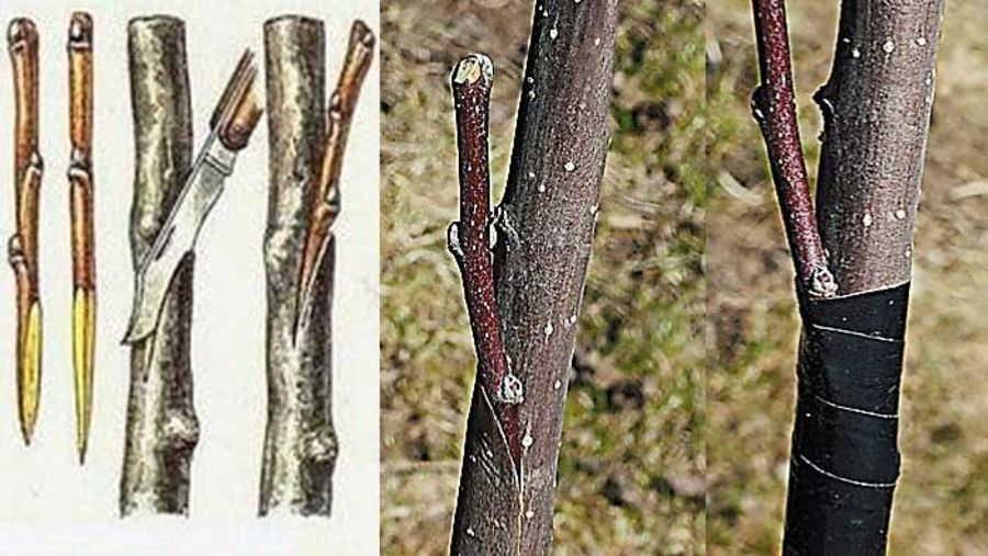 прививка черенком плодовых деревьев