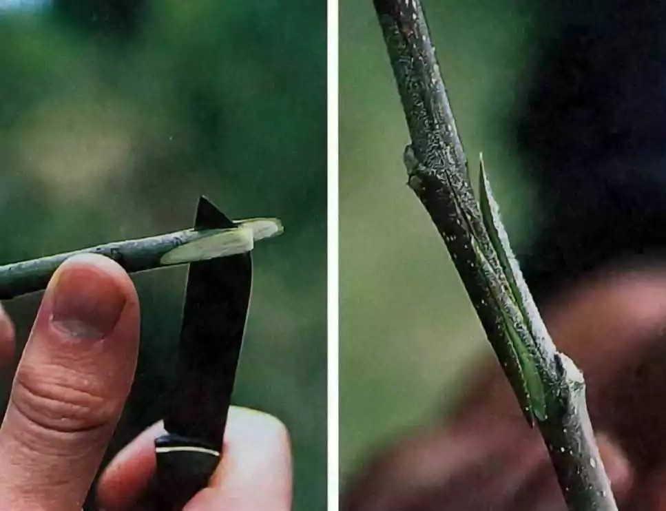 +как делать прививку деревьям