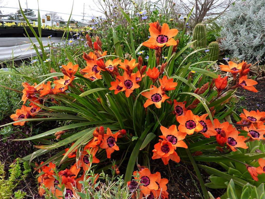 спараксис выращивание +и уход +в саду