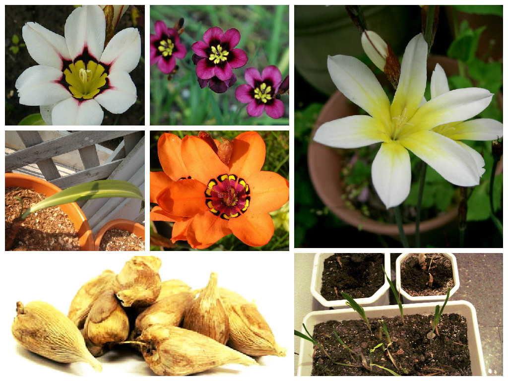 спараксис выращивание +и уход +в саду фото
