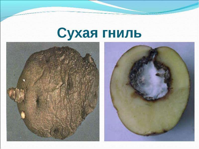 болезнь картофеля сухая гниль
