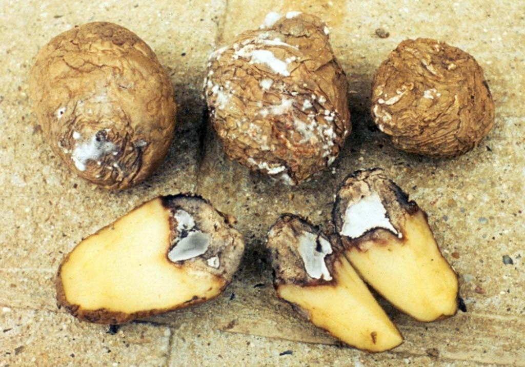 почему +на картофеле сухая гниль