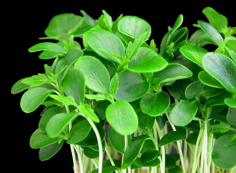 кресс салат выращивание